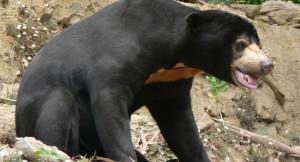 Beruang Madu Kalimantan